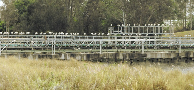 Ibis-roosting-Swanbank-Power-Station