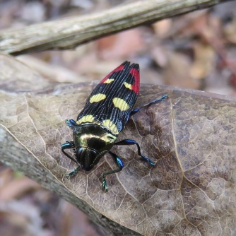 jewel-beetle-on-leaf