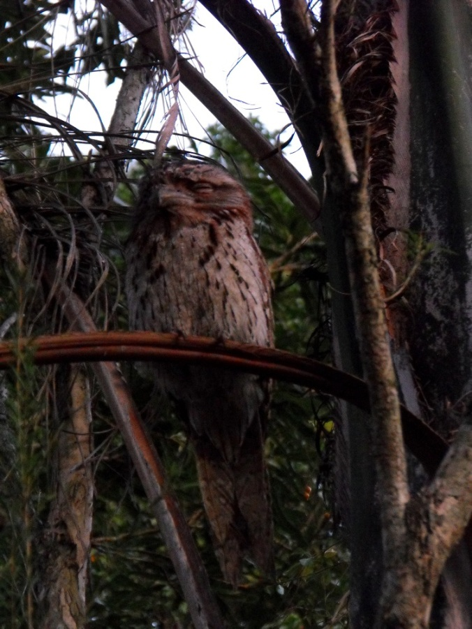 Tawny-Frogmouth-camouflaged