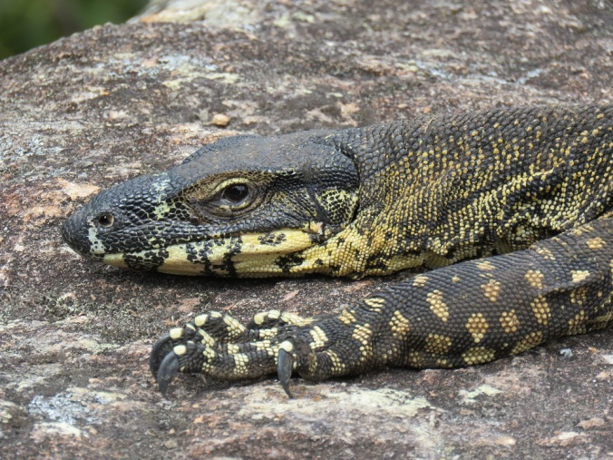 Lace monitor face