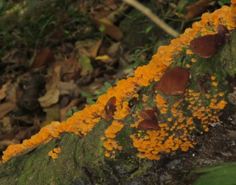 Orange fungi Binna Burra
