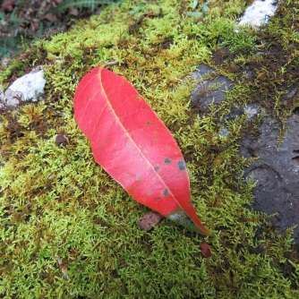 Red leaf and moss Binna Burra