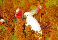 Cockatoo and galah on crop