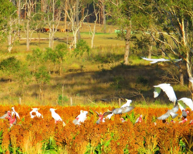 Cockatoos on crop and cattle