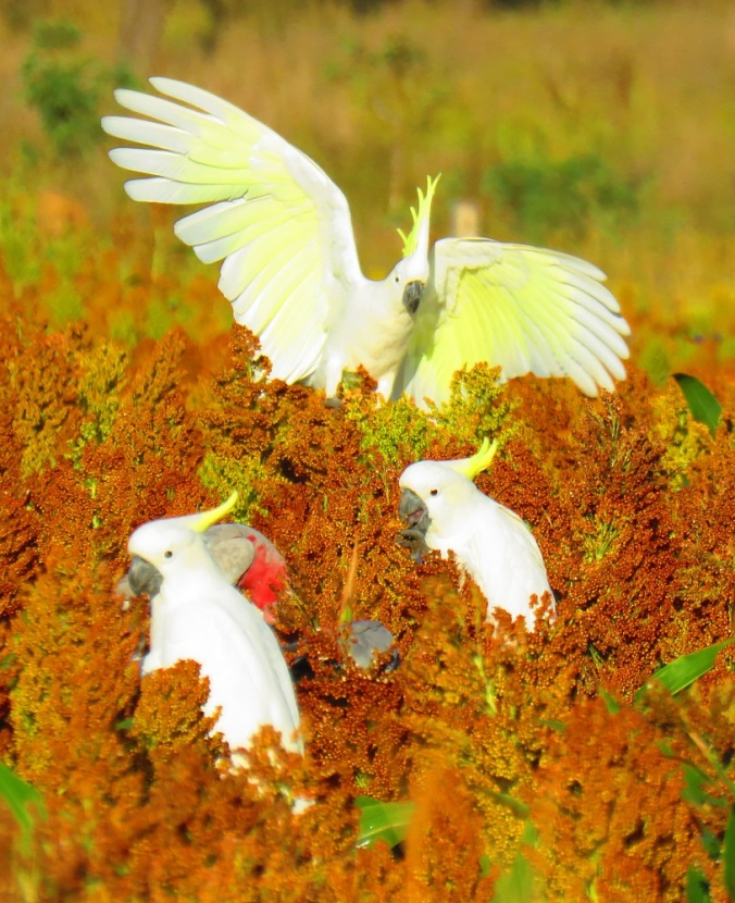 cockatoos on crop