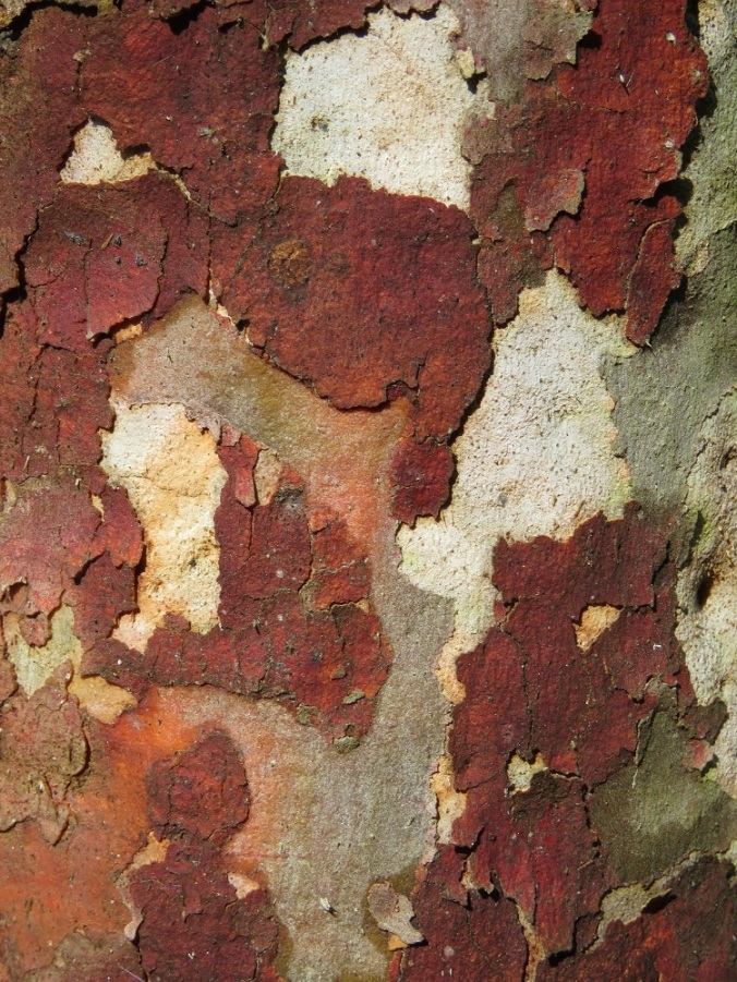 colourful bark at White Rock