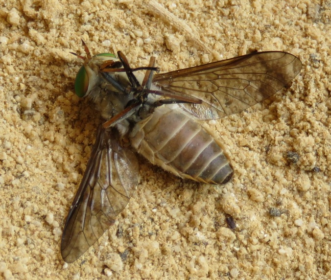 dead march fly