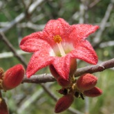 Kurrajong flower with droplets - Cania Gorge
