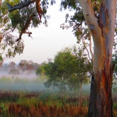 Mist in gum trees - Cania Gorge
