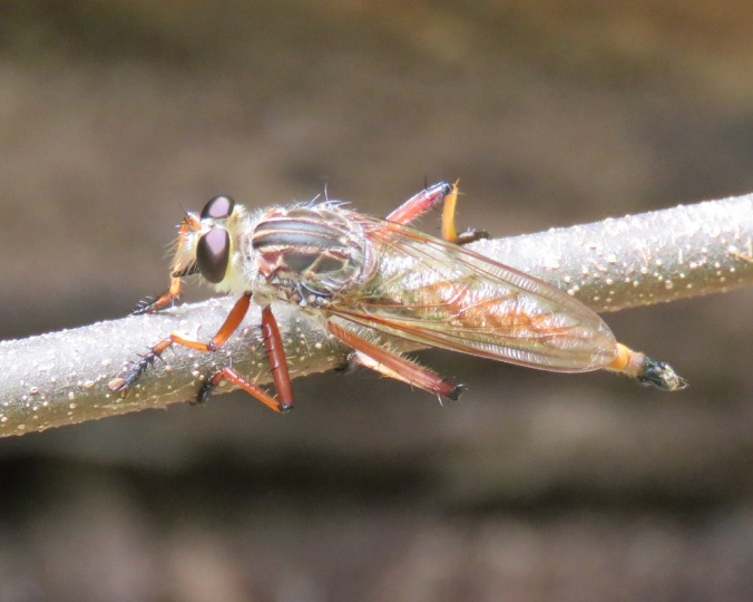 Robber fly - Cania Gorge 2