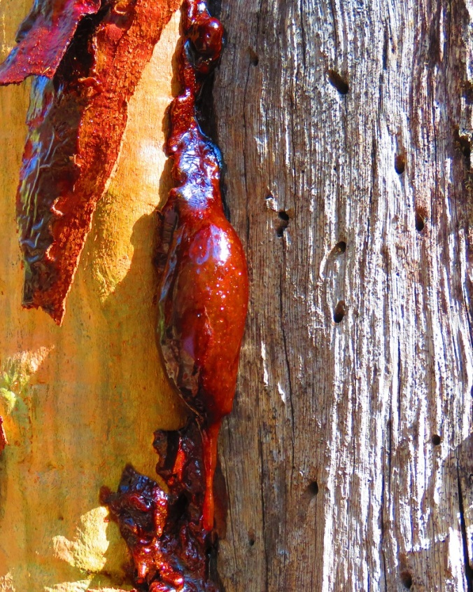 Tree trunk and sap - Cania Gorge