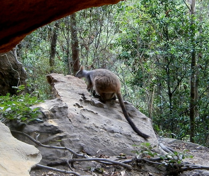 Rock Wallaby - Cania Gorge