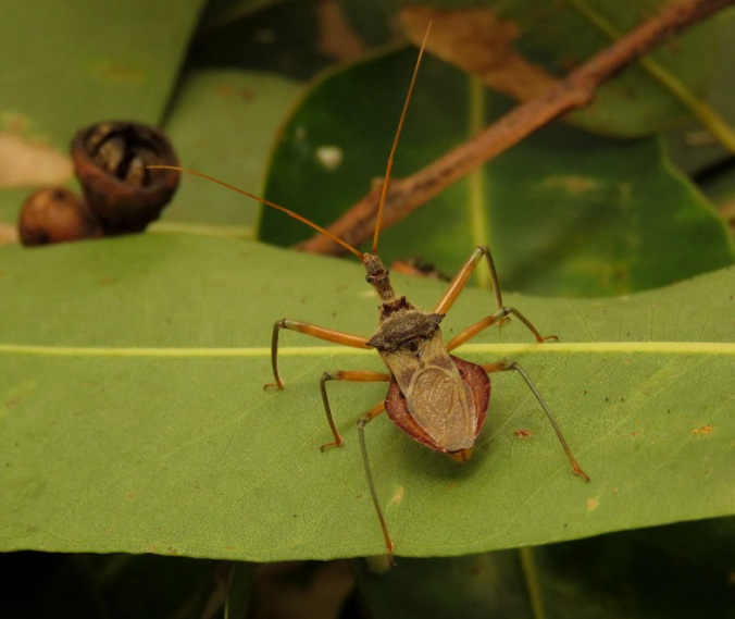 Assassin bug at Robelle