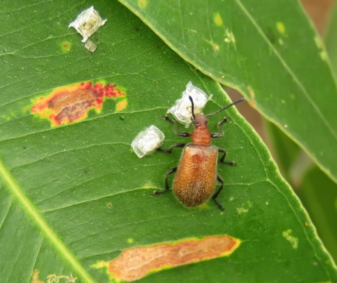 beetle eating sugar from lerp
