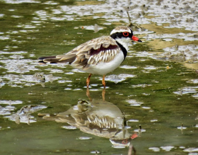 Black-fronted dotterel in water