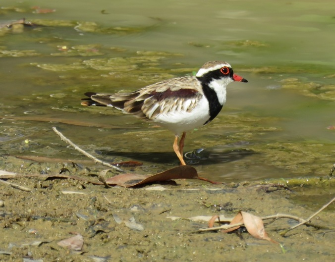 Black fronted dotteral on sand - Robelle