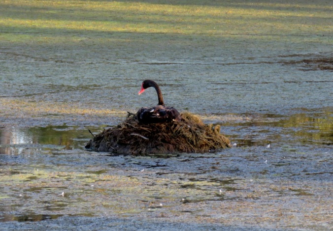 Black swan nesting at Swanbank