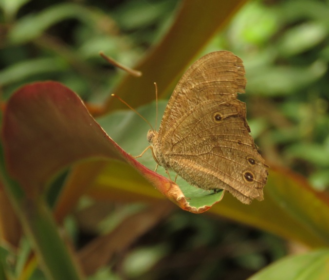 Brown butterfly - Robelle Parklands