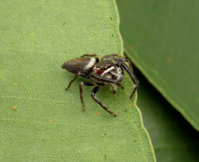 Jumping spider on leaf - Robelle Parklands