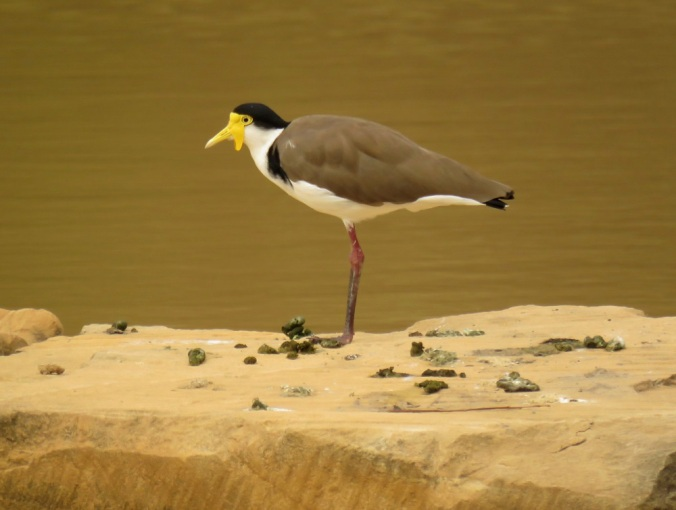 Masked Lapwing- Robelle