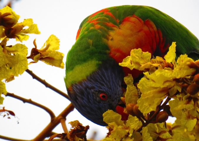 Rainbow lorikeet and yellow flowers