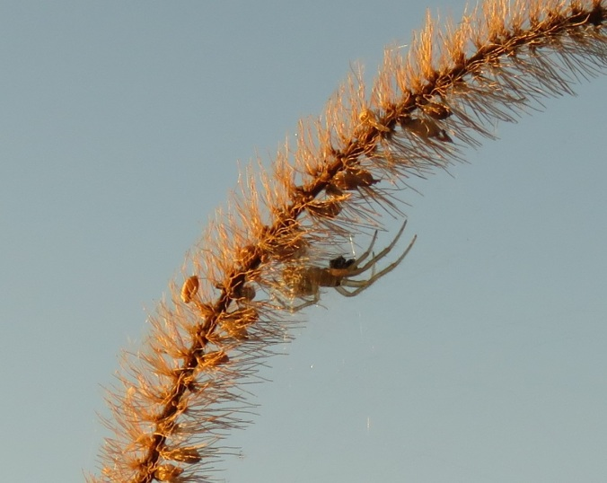 Spider on grass seed