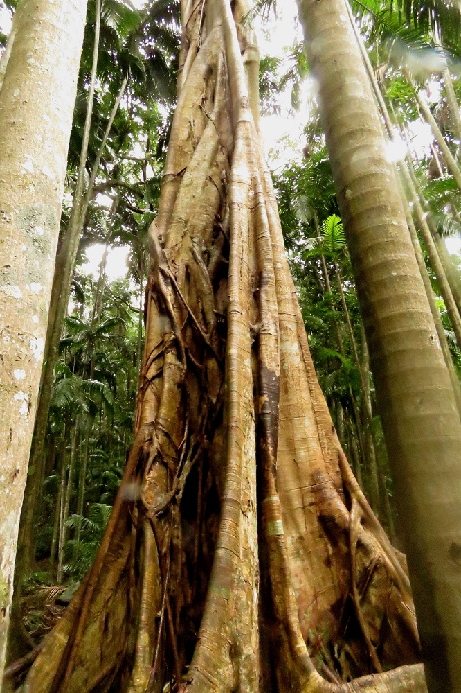 Strangler fig - Mt Tamborine