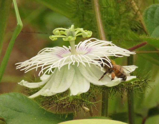 bee on native flower
