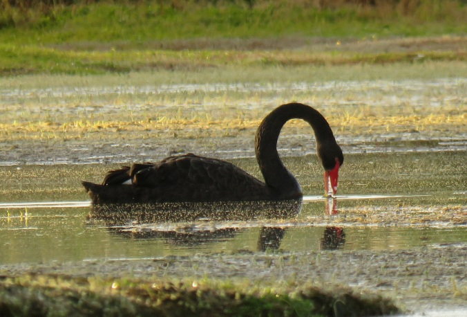 black swan feeding sunrise