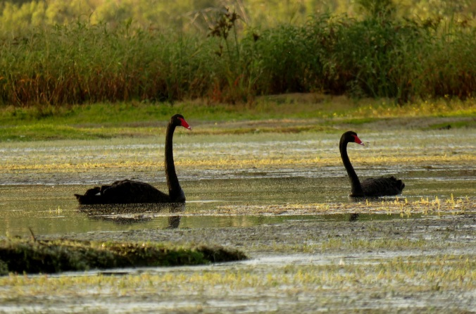 black swans burnett river sunrise