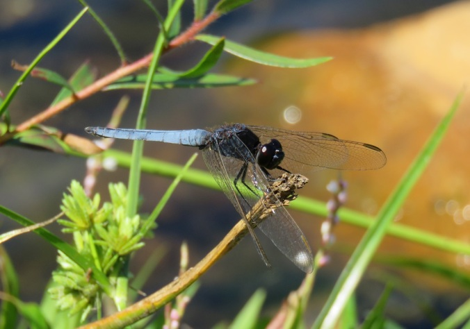 wivenhoe spillway dragonfly