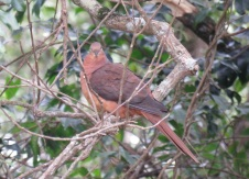brown-cuckoo-dove-3