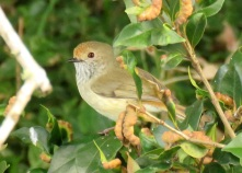 brown-thornbill-2