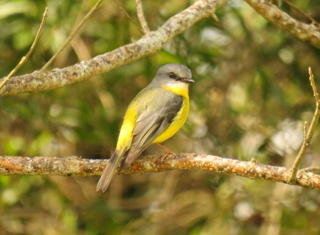 eastern-yellow-robin-ravensbourne-national-park-1