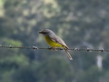 eastern-yellow-robin-ravensbourne-national-park-10