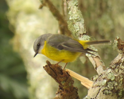 eastern-yellow-robin-ravensbourne-national-park-12