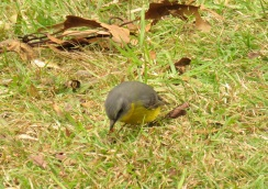 eastern-yellow-robin-ravensbourne-national-park-18