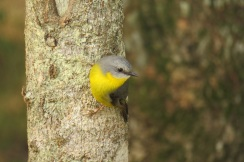 eastern-yellow-robin-ravensbourne-national-park-3
