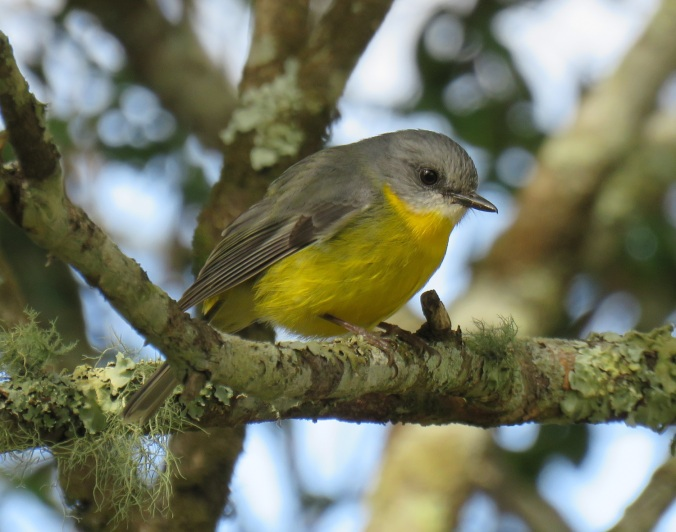eastern-yellow-robin-ravensbourne-national-park-4