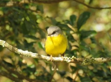 eastern-yellow-robin-ravensbourne-national-park-9