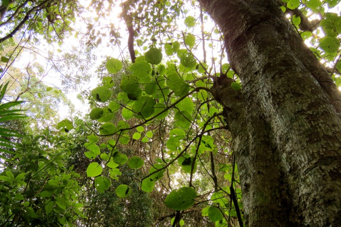 giant-stinging-tree-ravensbourne-national-park