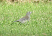 grey-shrike-thrush-3