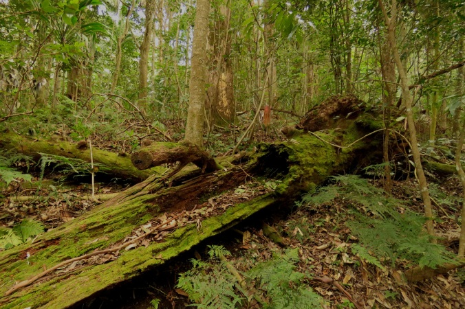 mossy-log-rainforest-ravensbourne-national-park