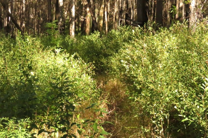 Overgrown path at Binna Burra