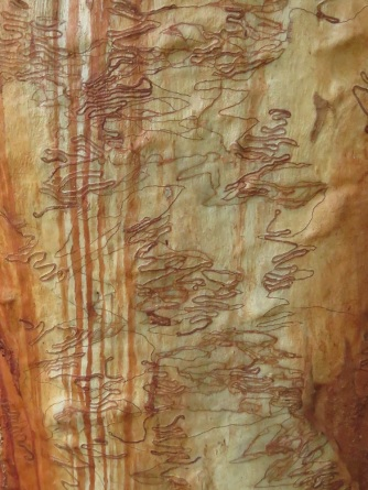 scribbly-gum-2