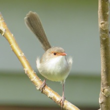 superb-fairy-wren-female