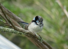 superb-fairy-wren-male-scruffy