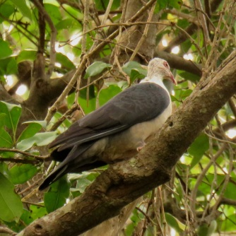white-headed-pigeon