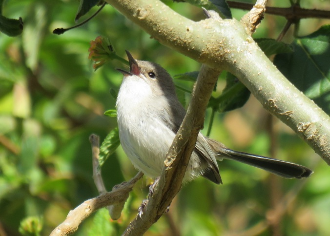 young-variegated-fairy-wren-male-eclipse-6