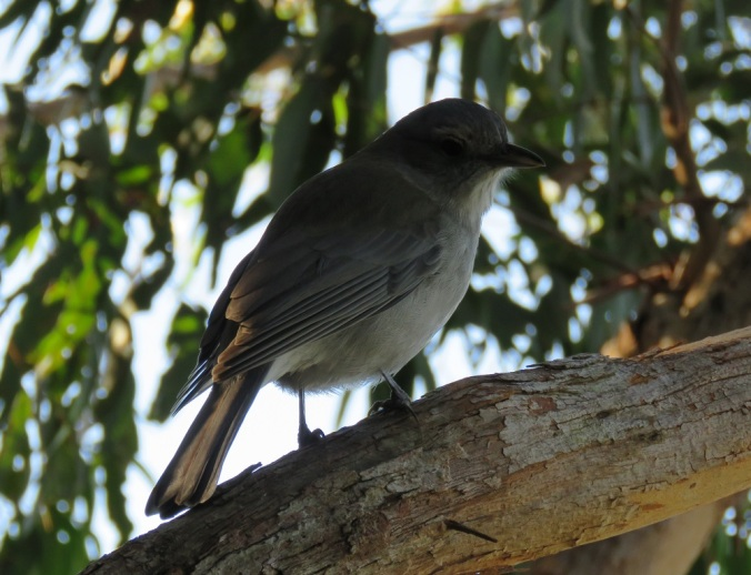 grey-shrike-thrush-binna-burra-lamington-national-park